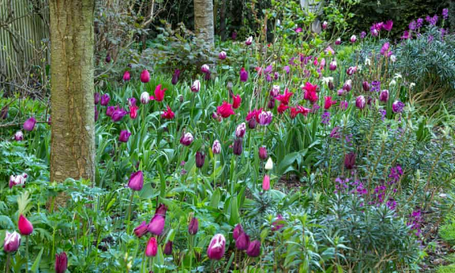 Mixed tulips with Erysimum 'Bowles's Mauve'.
