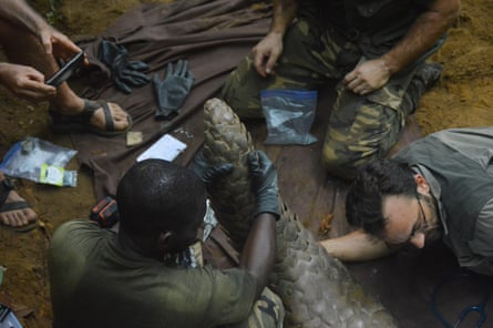 Wildlife researchers with Ghost, after the pangolin was captured in Lopé-Okanda national park, central Gabon.