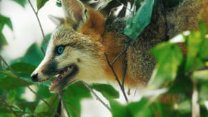 The grey fox is the only surviving member of the dog family with a habitat spanning both North and South America.