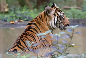 A tiger sits in the water inside an enclosure at Phnom Tamao wildlife rescue center in Bati district