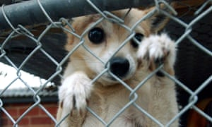 a chihuahua behind a fence