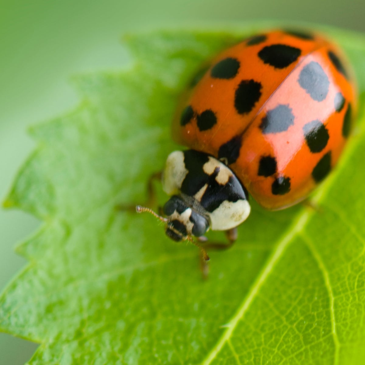 Invasion of the ladybirds! Why are these STI-infected insects ...