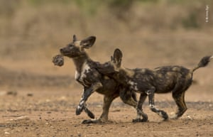 A pair of African wild dog pups play a macabre game of tag with the head of a chacma baboon – the remains of their breakfast.