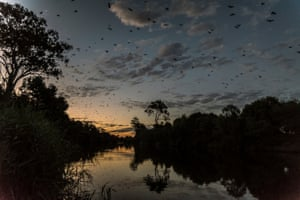 The nightly spectacle of grey-headed flying foxes departing their Bairnsdale camp to fly up the Mitchell River to feed.