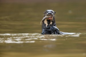 An otter catching a fish in the floodplains of the Pantanal.