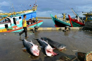 Tiger sharks caught by fishermen at Banda Aceh in Indonesia.