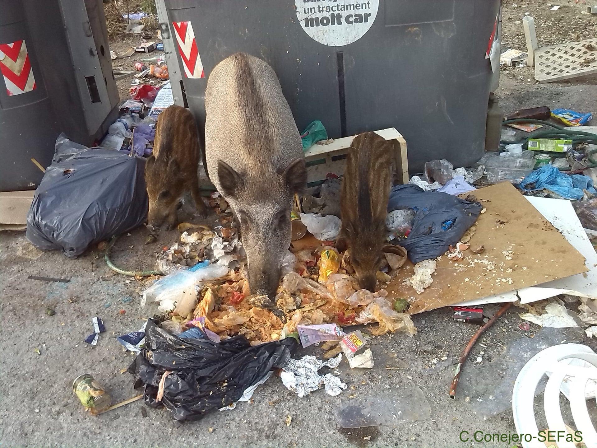 Кабаны питаются мусором