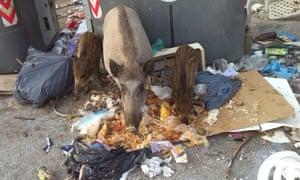 Wild boar in rubbish
