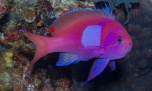 Pseudanthias pleurotaenia off the coast of Atauro Island