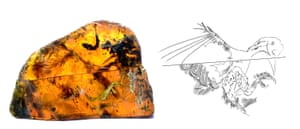 Both halves of amber piece brightly lit from behind (left) to highlight the location and size of the individual body parts that are preserved, and an illustration of feather distribution and preserved skin outline.