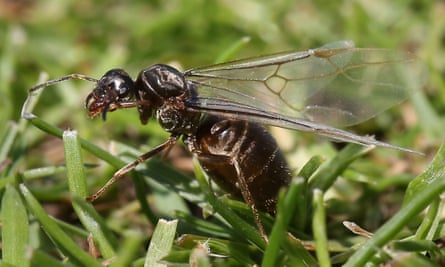 Flying ant in grass