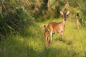 A doe and fawn walk through the woods at Botany Bay Plantation, Edisto Island, South Carolina, US