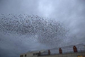 Starling murmurations in Aberystwyth, Ceredigion, Wales, UK