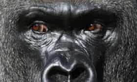 Kumbuka the gorilla, who escaped from his enclosure in ZSL London Zoo.