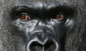 Western lowland silverback Gorilla, Kumbuka, who escaped from his enclosure in ZSL London Zoo.