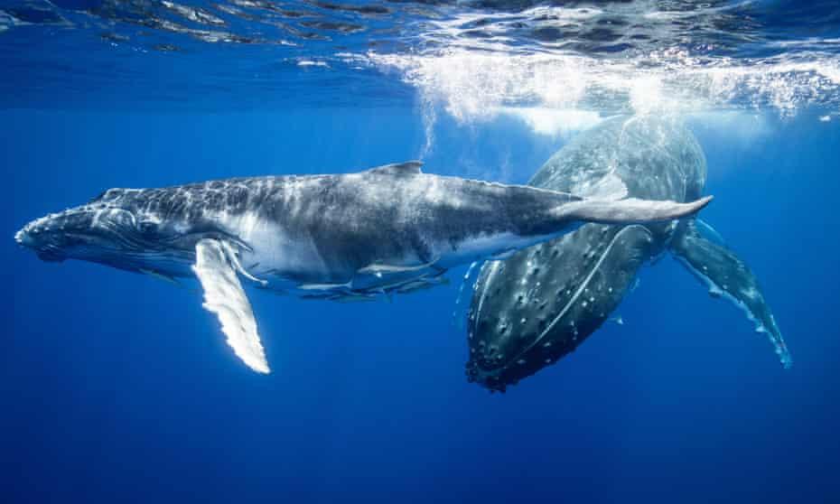 Humpback whales swimming underwater.