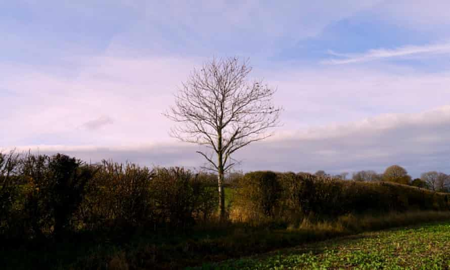 A young sweet chestnut tree has lost all its leaves, its branches dark against the sky
