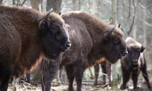 Wild bison, like this herd in Poland's Białowieża forest, will soon roam the Kent woodlands.