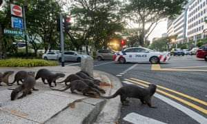 A pack of wild smooth-coated otters crosses Penang Road in Singapore. The otters are well known locally and are nicknamed the Zouk family.