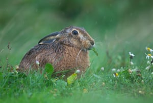 A brown hare sits out in a heavy rain storm in a field dotted with flowers in a mild November on Havergate island, Suffolk, Britain