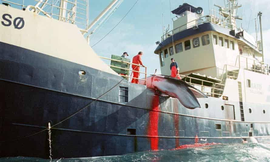 A freshly killed Minke whale hoisted onto Norwegian whaler Kato in the North Sea.