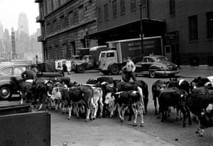 Meatpacking Cows V