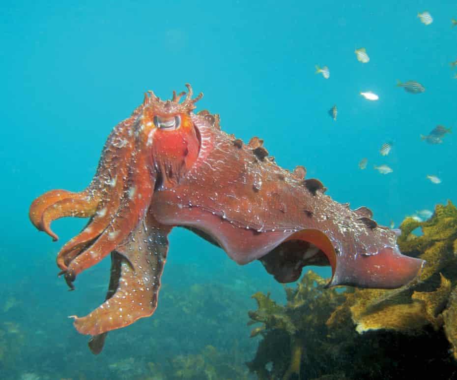 An Australian giant cuttlefish