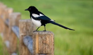 Magpie sitting on a fence post