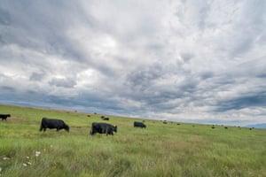 Cattle grazing on the Zumwalt prairie in Northeast Oregon.