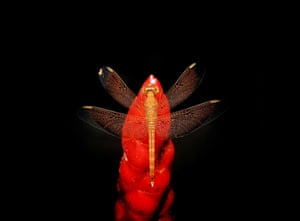 Category: Nature. Title: Dragonfly perched on red flower. Dragonfly perching on a Red Button Ginger flower (Costus Woodsonii) over a black background, taken at a forest reserved in Johor, Malaysia