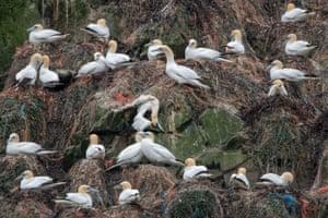 Gannets nesting in Alderney, Channel Islands.