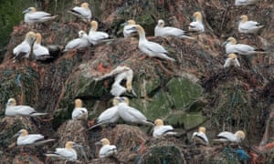 According to reports plastic has been found in almost 100% of gannet nests on Alderney.