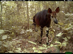 Okapi (Okapia johnstoni): It resembles striped markings of a zebra, but is actually closely related to giraffe. Since the okapi is only endemic in the DRC, their numbers have gone down tremendously since the discovery of their species in 1901. The okapi has been a protected national treasure of the Congo since 1933 but are now listed as endangered. Major threats include habitat loss due to deforestation and human settlement. Extensive hunting for their bushmeat and skin have also led to the decline in their populations. Nominated by: Tusk Task Force