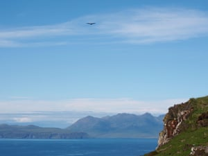 A golden eagle soars above cliffs on the Isle of Canna.