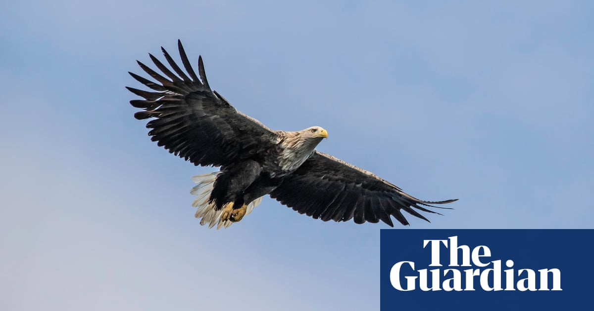Norfolk white-tailed eagle reintroduction project cancelled