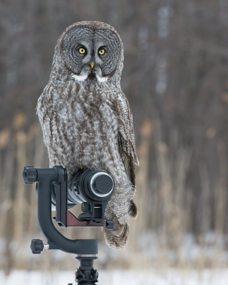 A great grey owl perches on top of a camera during a shoot where some photographers were using shop-bought live mice as bait.