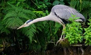 A heron prepares to strike