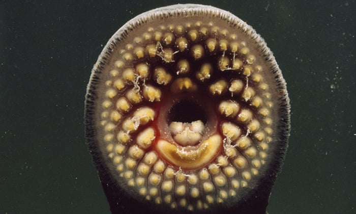 Swimming Up British Rivers, What Is A Lamprey Fish