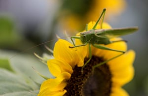 A grasshopper on a sunflower in Freiburg, Germany