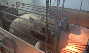 A sow in a farrowing crate.