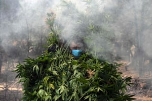 Tecate, Mexico Soldiers destroy a marijuana plantation. During the operation, the Army destroyed two marijuana plantations with a total surface area of 19,000 square meters and seized a clandestine laboratory of crystal meth