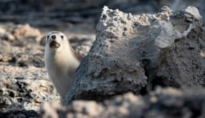 For the first time, a colony of sea lions on Kangaroo Island in Australia is being treated with topical anti-parasitic medicine and monitored for health and survival