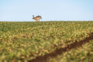 Brown hares play on arable farmland near the Borders town of Kelso.