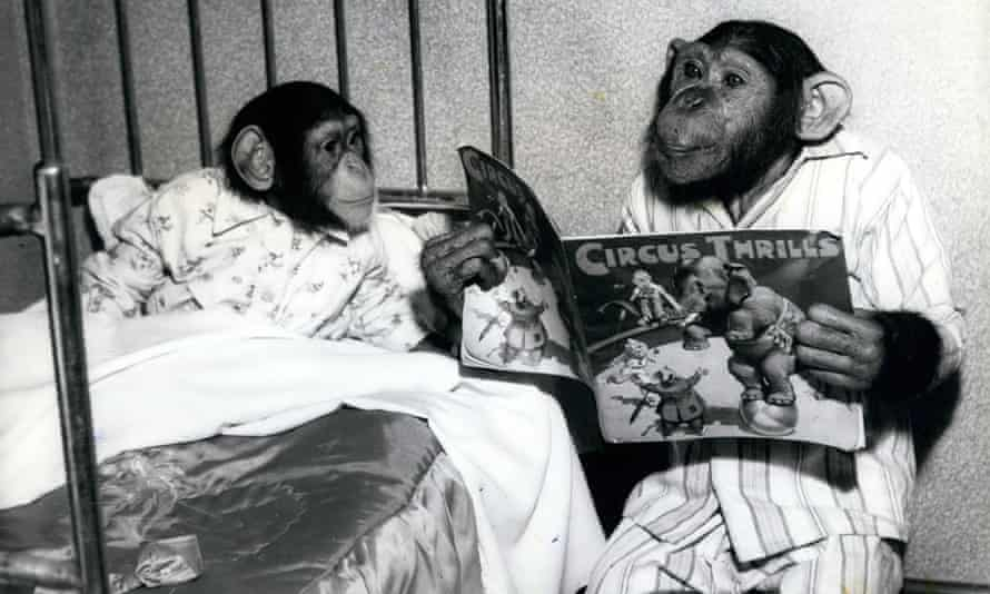'Daddy, this human bed is filthy' … unlike humans, chimps make a fresh nest every night.