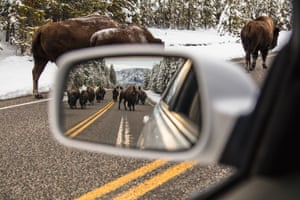 A Bison jam near Madison Junction in Yellowstone.