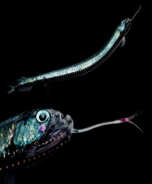 Günther's boafish, a kind of dragonfish with a network of photophores along the length of its body, caught in the Gulf of Mexico.