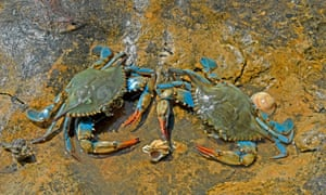 Two female blue crabs at low tide in Spain's Ebro Delta.