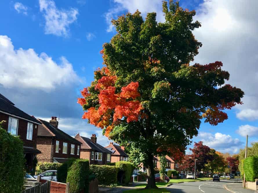 The Norway maple in Poynton, Cheshire.