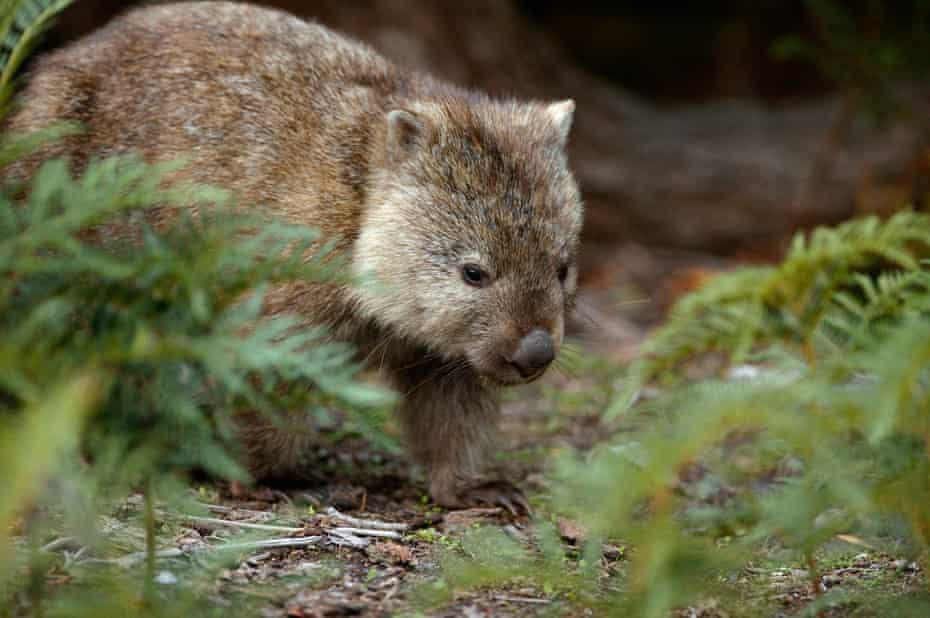 Wombat in the Narawntapu National Park Tasmania, Australia.