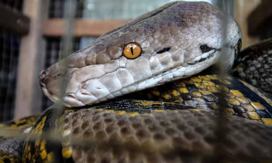 A Reticulated Python In Aceh, Indonesia